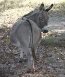donkey female rear