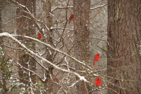 A cardinal snow.......